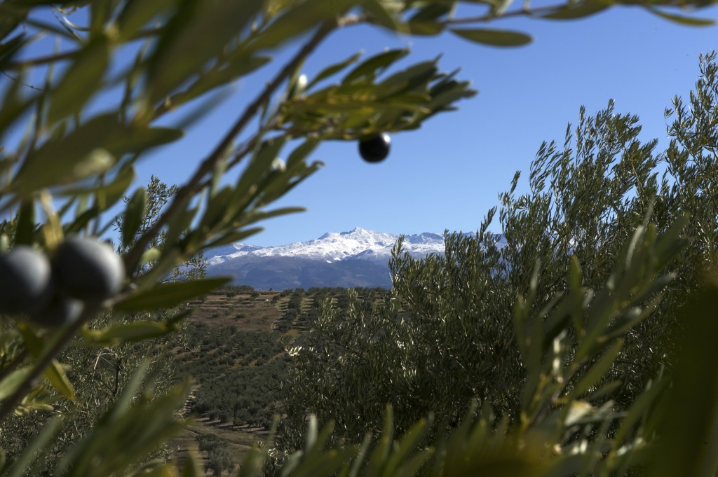 View of the Sierra Nevada from the Olive Grove.