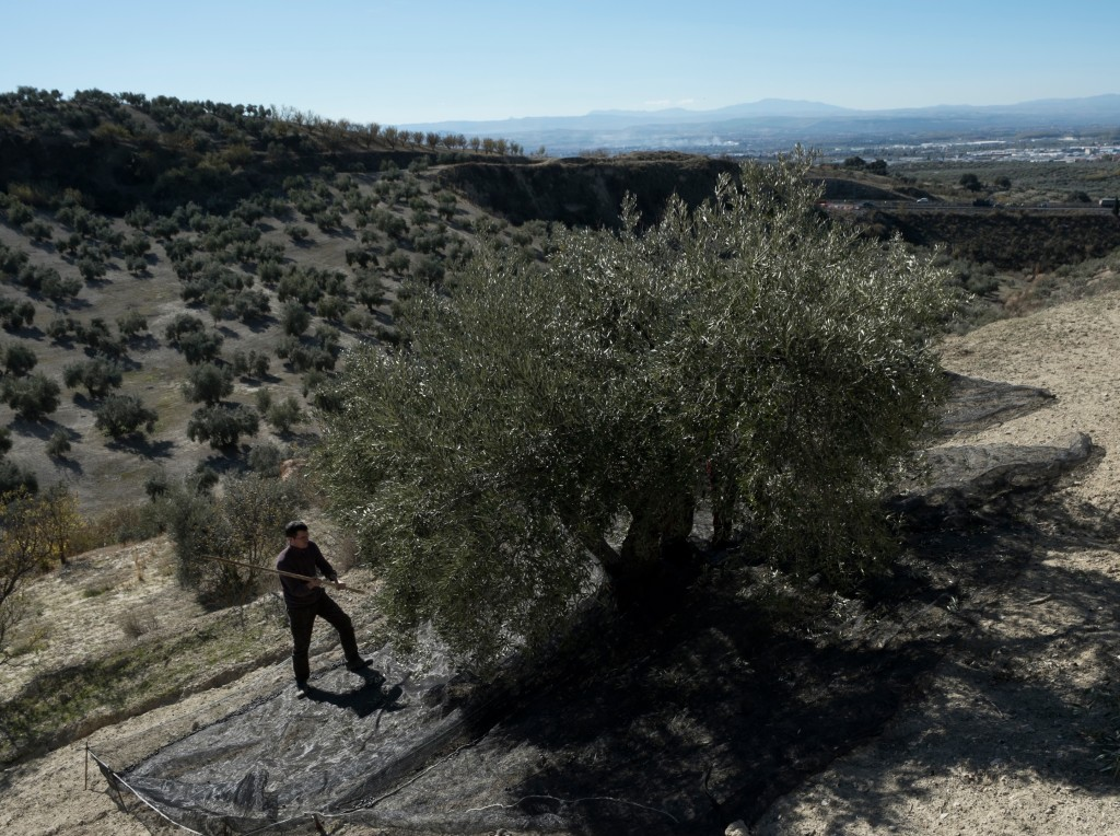 Us harvesting the olives the traditional way with sticks and nets.