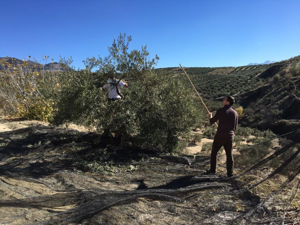 2015 Olive Harvest